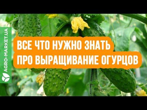 Выращивание огурцов: посадка, уход, подкормка | Agro-market.net