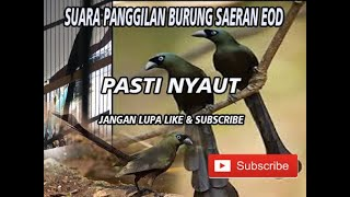 Download Mp3 suara asli murai papua