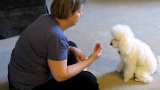 Adorable Poodle Puppy Learns To Play The Piano And Learns To Count And Performs Other Tricks