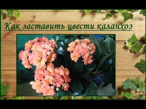 Как заставить цвести каланхоэ