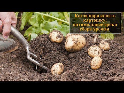 Когда копать картошку | картофеля | картошку | выкопать | уборка | копают | копать | копаем | быстро | когда | кар
