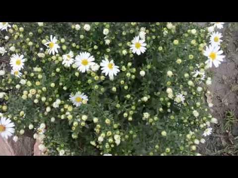 Вопрос: Кроме хризантем и сентябринок какие осенние цветы есть?