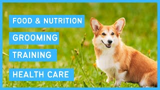Pembroke Corgi 101  Feeding, Grooming, Training & Health care of a Welsh Corgi