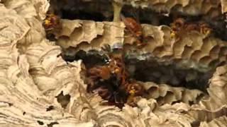 オオスズメバチVSキイロスズメバチ・大雀蜂 対 黄色雀蜂