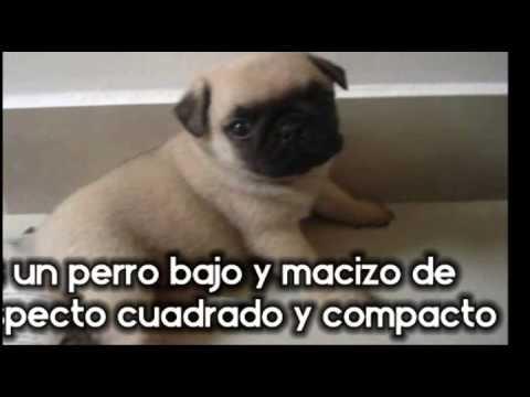 cachorros-pug