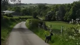 kerry blue terriers countryside dog walk