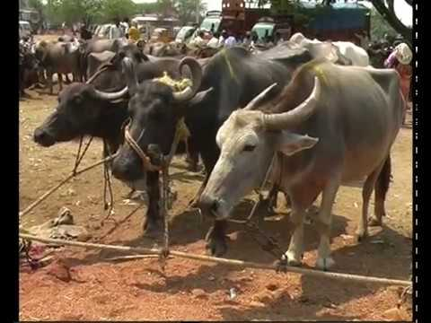 070510 KNR ANIMAL COW BUFFALO MARKET TRANSPORT TO KABELA PASHUGRASAM KORATHA VIS