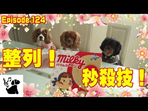 整列する犬 キャバリア124 Cute and funny video of the dogs.
