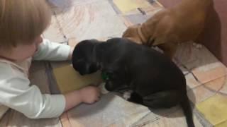 Купить щенка стаффа. 05.03.17 др. +380992078688