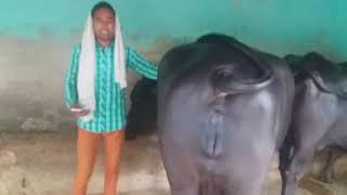 Gambar cover Dusri bar buffalo pregnant 10 days time( sale) 07009492709