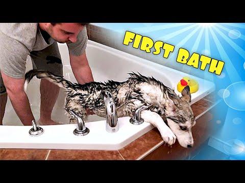 Loki's FIRST BATH: 3 Month Old Siberian Husky Puppy!
