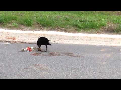 Image result for crows eating roadkill