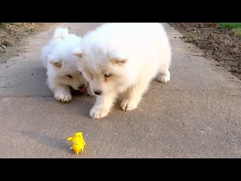 Ferocious Samoyed puppies fight off scary wind-up toy frog