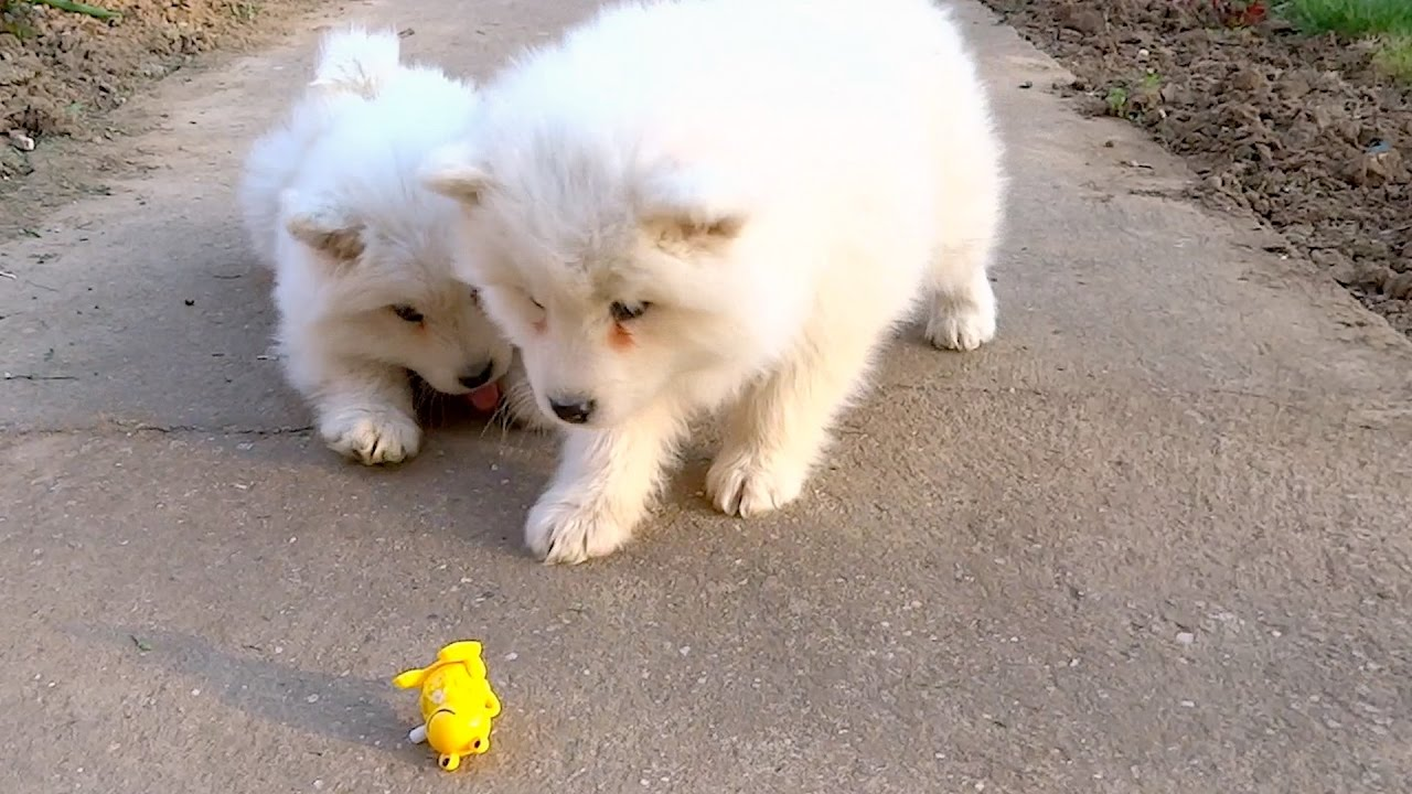 Samoyed Puppies Fight  Wind-Up Toy Frog