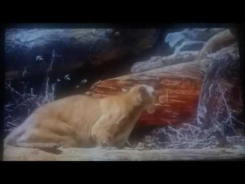Dog vs Mountain Lion Dog wins