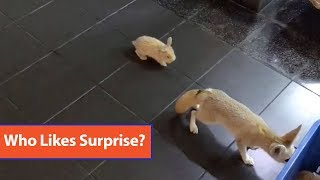 Pet Fox Scared By Small Bunny