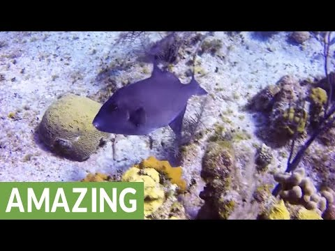 Freaky Ocean Trigger Fish Swims Without Using Its Tail