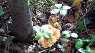 #414 США Аляска Анкоридж Прогулка по лесу Красная рыба в нашем ручье(, 2014-09-21T04:34:21.000Z)