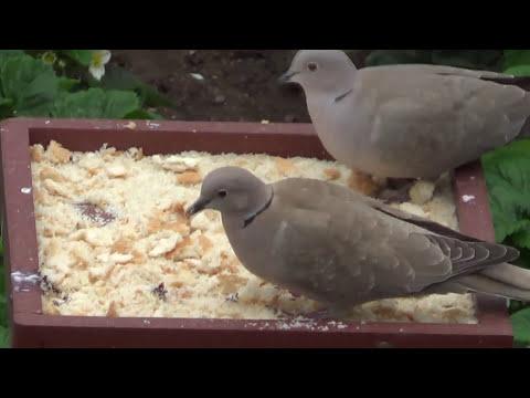 Feeding birds from platform feeder
