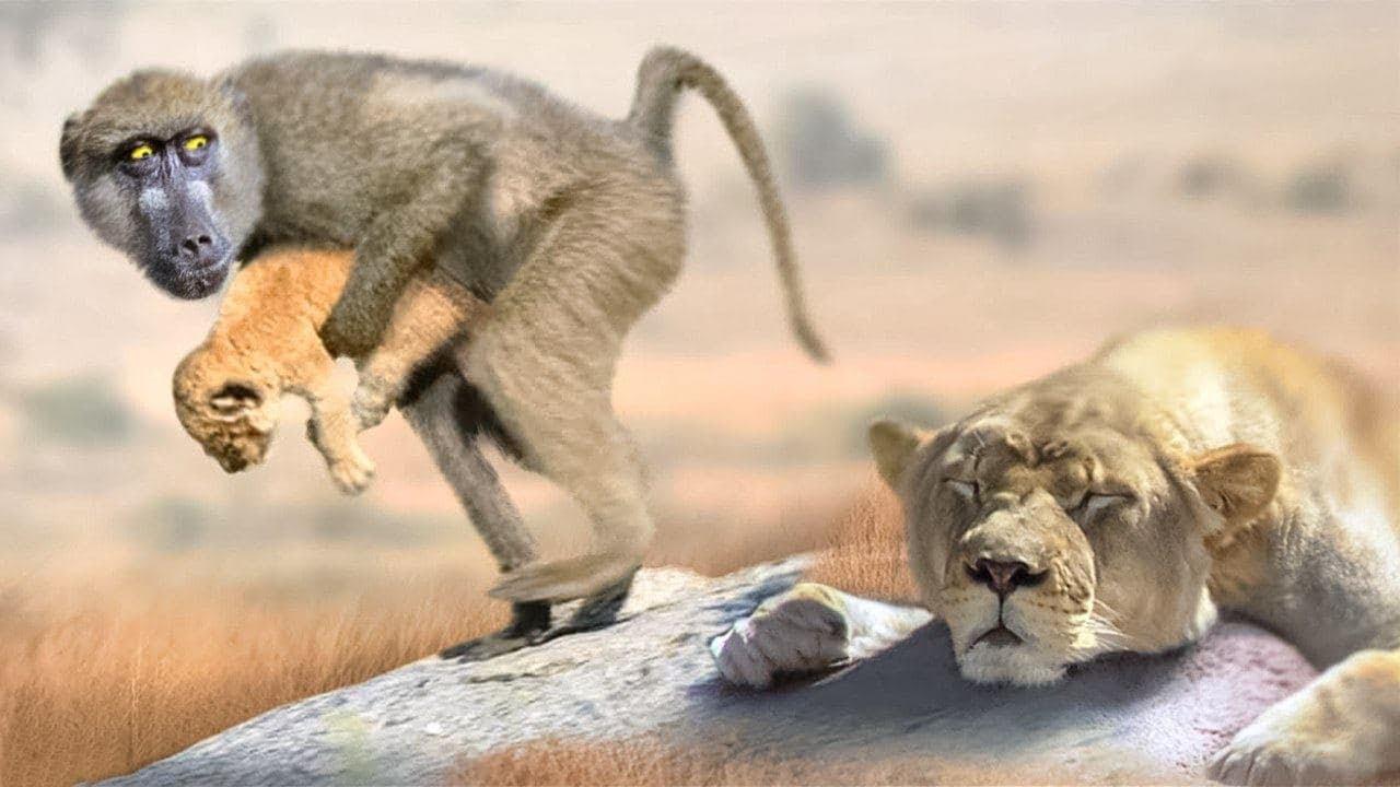 Вот для Чего Бабуины Крадут Маленьких Львят