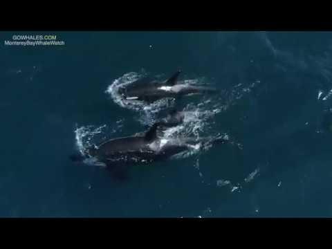 Josh Busch - Killer Whales Cruise Through Monterey Bay