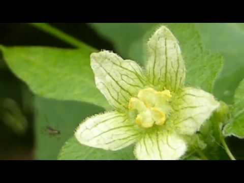 Bryonia dioica - Bryony flowers - Bryonía - Poisonous Plants - Eiturjurt -  Klifurjurt