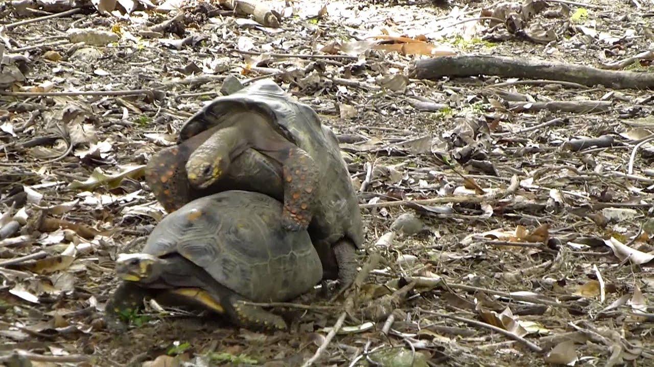 4623 tortugas apareandose raw animales reptiles youtube - Imagenes de animales apareandose ...