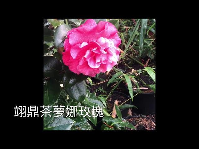 我的影片 44茶花