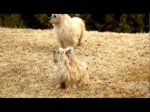 Spoiled Cairn Terriers