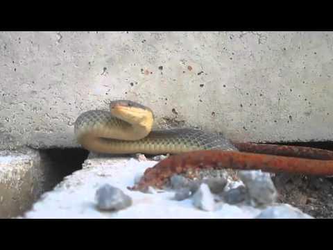 Bjelica/Eskulapova zmija-Aesculapian snake (Elaphe longissima/Zamenis longissimus)