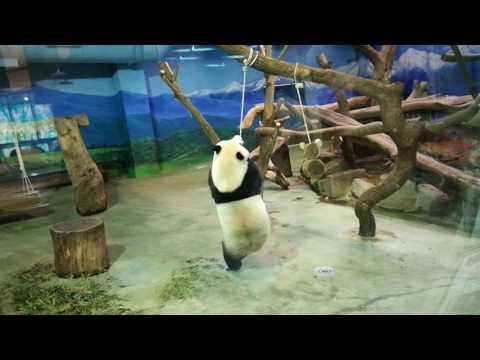 Funny Panda at Taipei Zoo