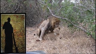 Lions Mate for the First Time