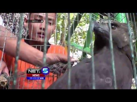 Burung Elang Hitam Seorang Warga di Sumatera Utara Disita - NET5