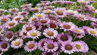 видео Эригерон (мелколепестник): посадка и уход, выращивание из семян в домашних условиях, фото сортов