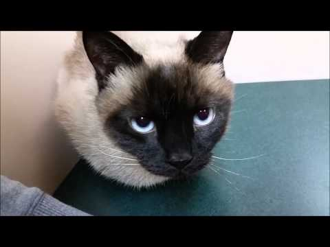 My Siamese Cat Max at the Vet!