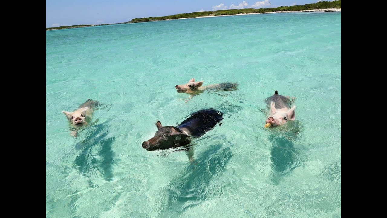 Image result for swimming pigs