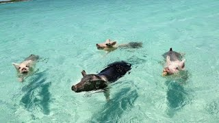 WHEN PIGS SWIM: THE FILM (EXUMA, BAHAMAS)