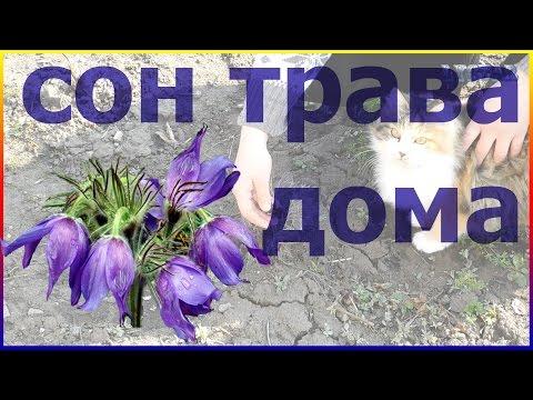 Сон трава в саду Как посадить сон траву дома Сажаем сон траву весной