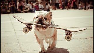 Funny and Cute Bulldogs 🔴 Funny Animals Videos | Animales Idiotas Video Recopilación