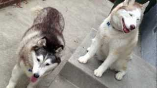 I Tell My 2 Siberian Huskies To Get Jobs Or Pay Rent