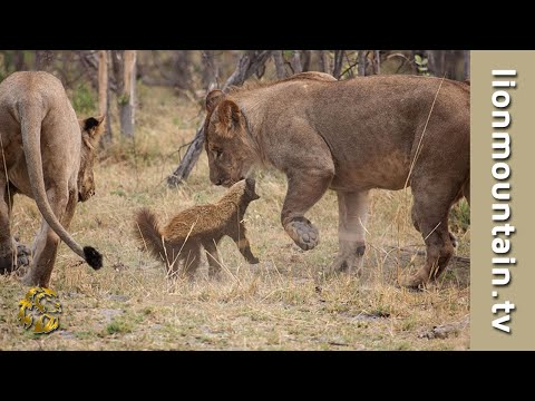 Fearless Honey Badger takes on 6 Lions | CAUGHT IN THE ACT