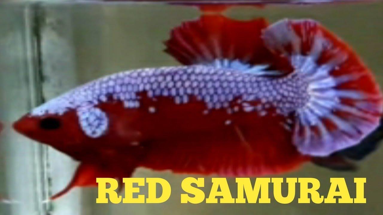 Ikan Cupang Red Samurai Youtube