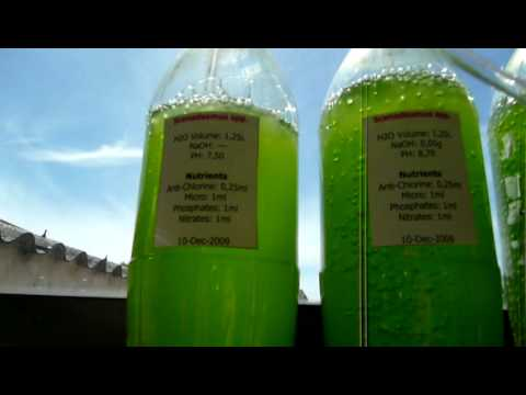 Growing Algae at Home: Scenedesmus spp. PH Experiment