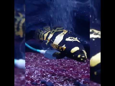 Ikan Exotis Bumblebeegrouper (kerapu Emas )