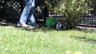 Havanese Shih Tzu Puppies Playing