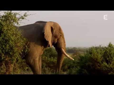 Vidéo Echo éléphant, Amboseli - baby boom dans la plaine part1/3