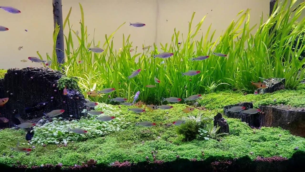 Aquascaping 800l tank - caridina Japonica - Amano Shrimp ...
