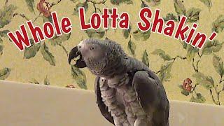 Whole Lotta Shakin' Goin' On - Einstein Parrot Style