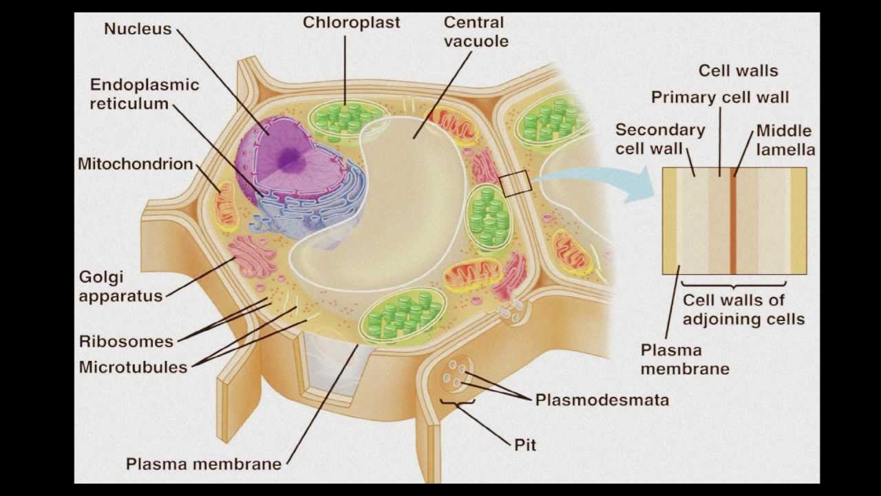 different types of cells - youtube, Human Body
