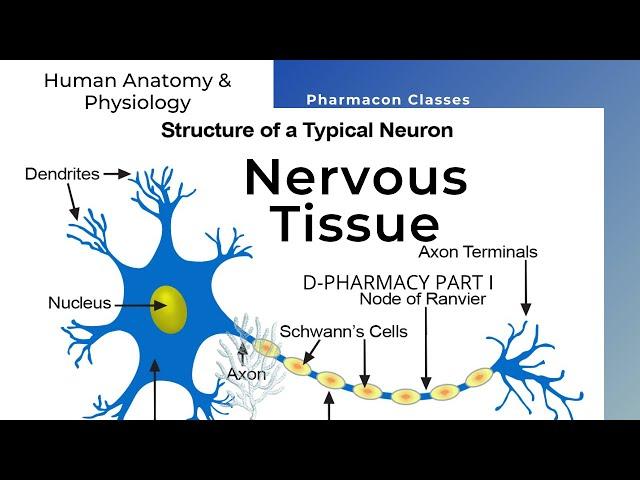 D-PHARMACY PART I   | HAP |   NERVOUS TISSUE